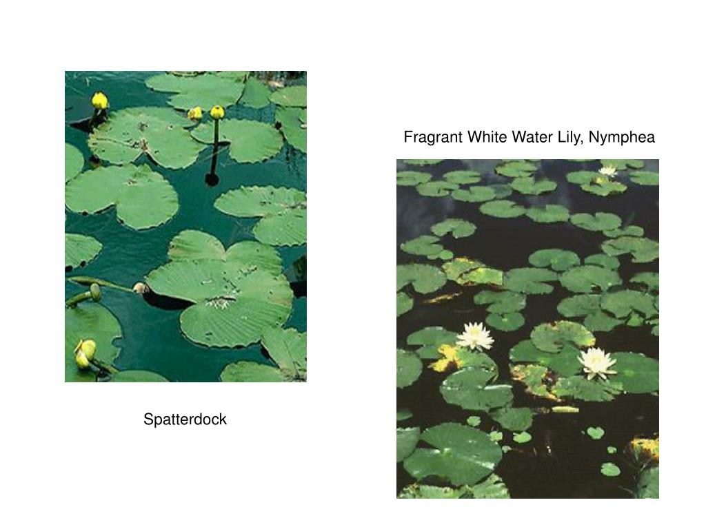 Fragrant White Water Lily, Nymphea