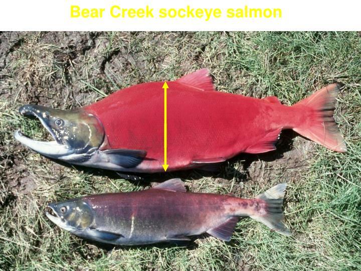 Bear Creek sockeye salmon