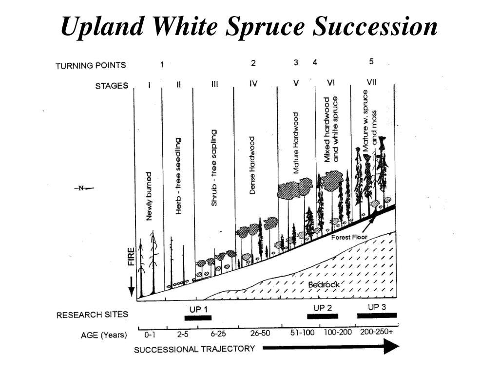 Upland White Spruce Succession