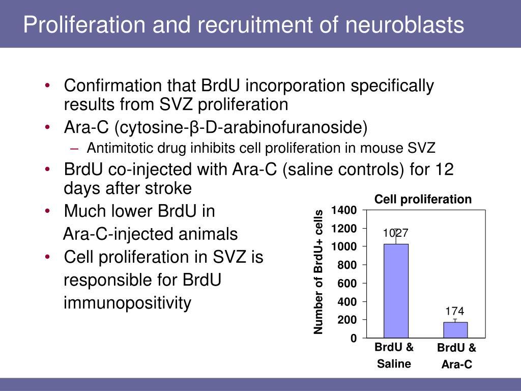 Proliferation and recruitment of neuroblasts