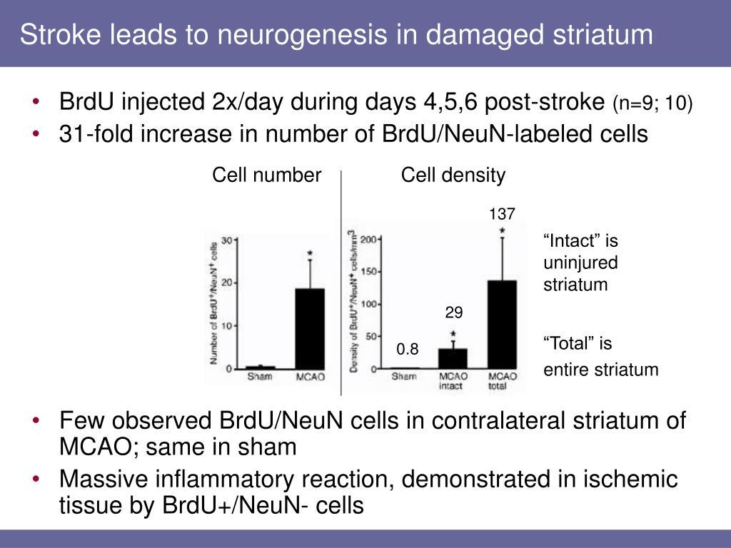 Stroke leads to neurogenesis in damaged striatum