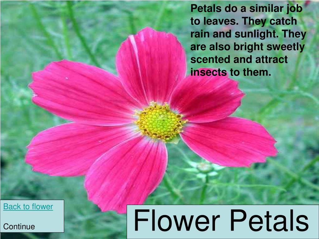 Petals do a similar job to leaves. They catch rain and sunlight. They are also bright sweetly scented and attract insects to them.
