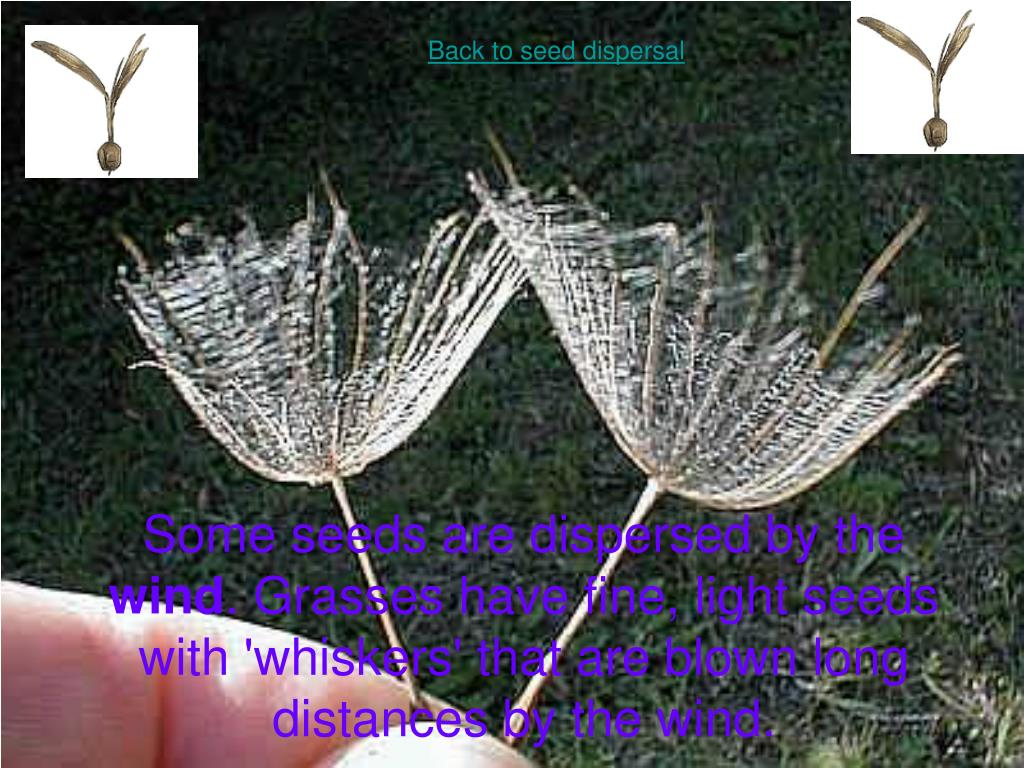 Back to seed dispersal