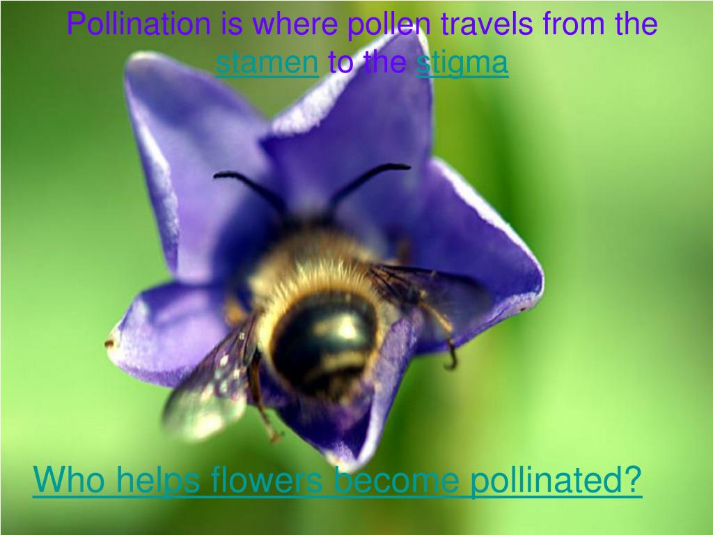 Pollination is where pollen travels from the