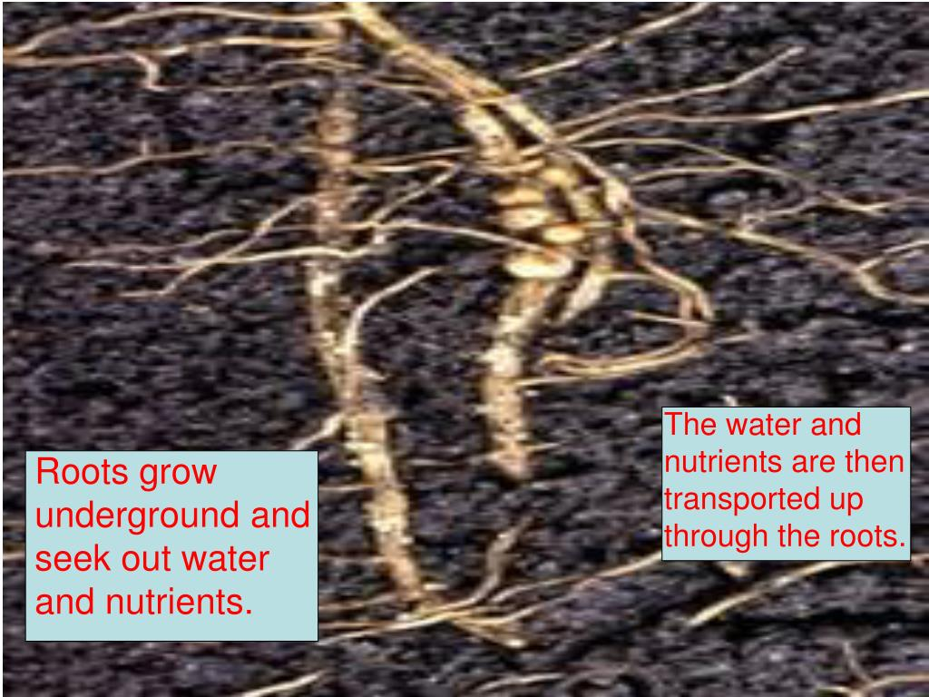 The water and nutrients are then transported up through the roots.