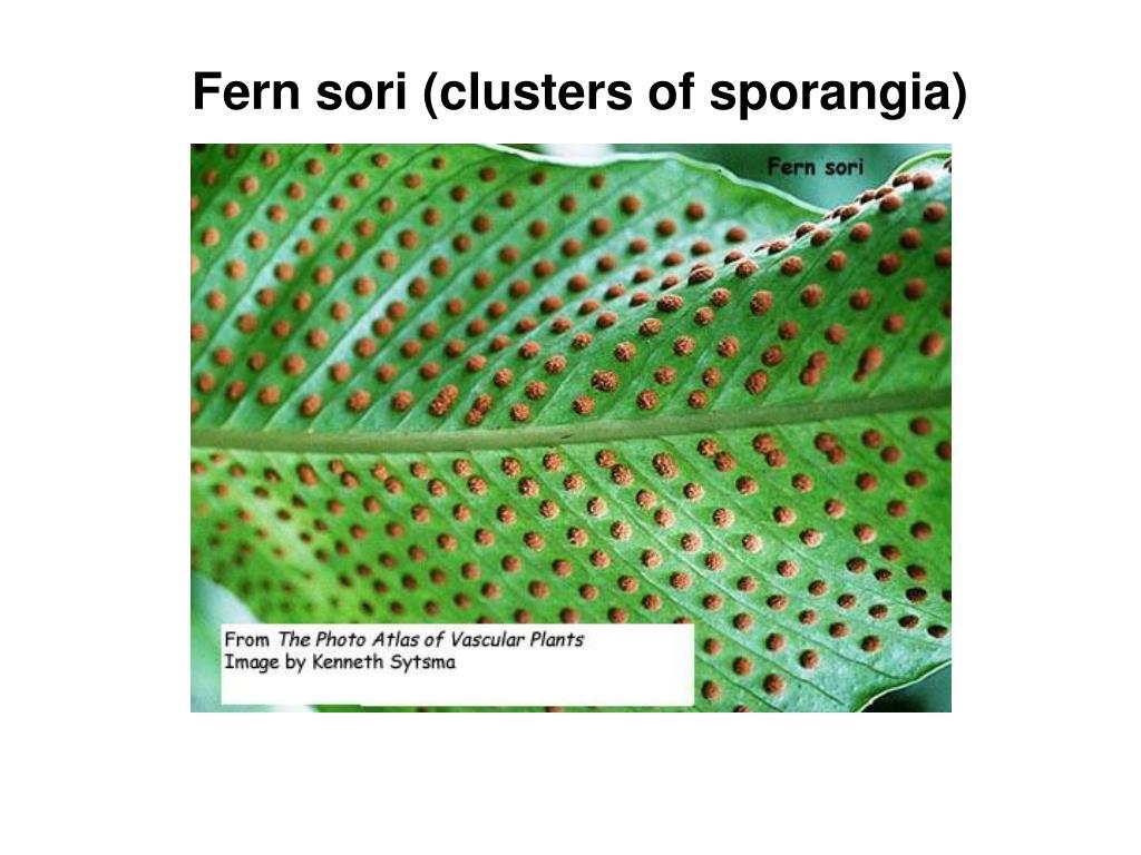 Fern sori (clusters of sporangia)
