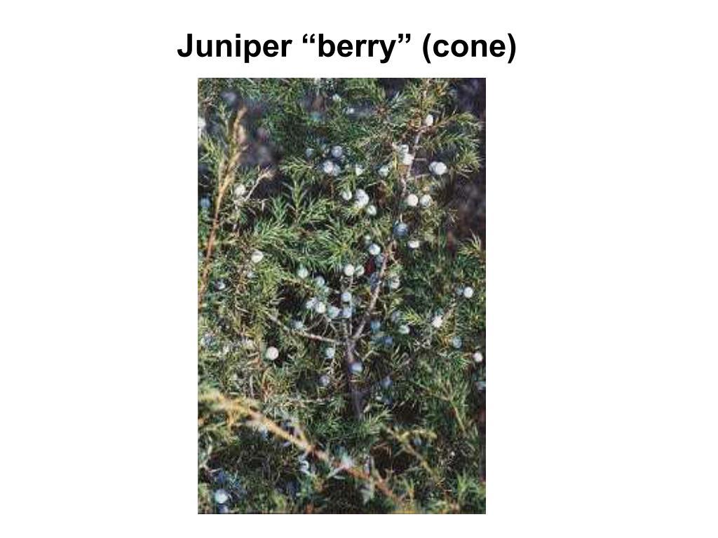 """Juniper """"berry"""" (cone)"""