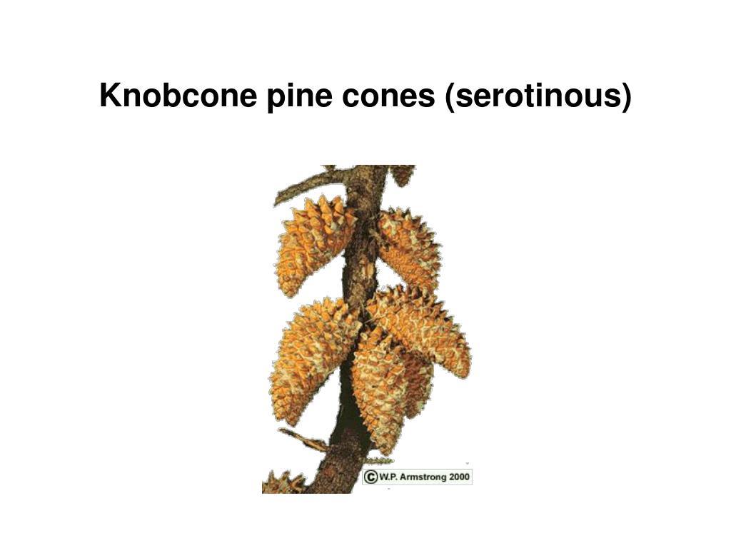 Knobcone pine cones (serotinous)