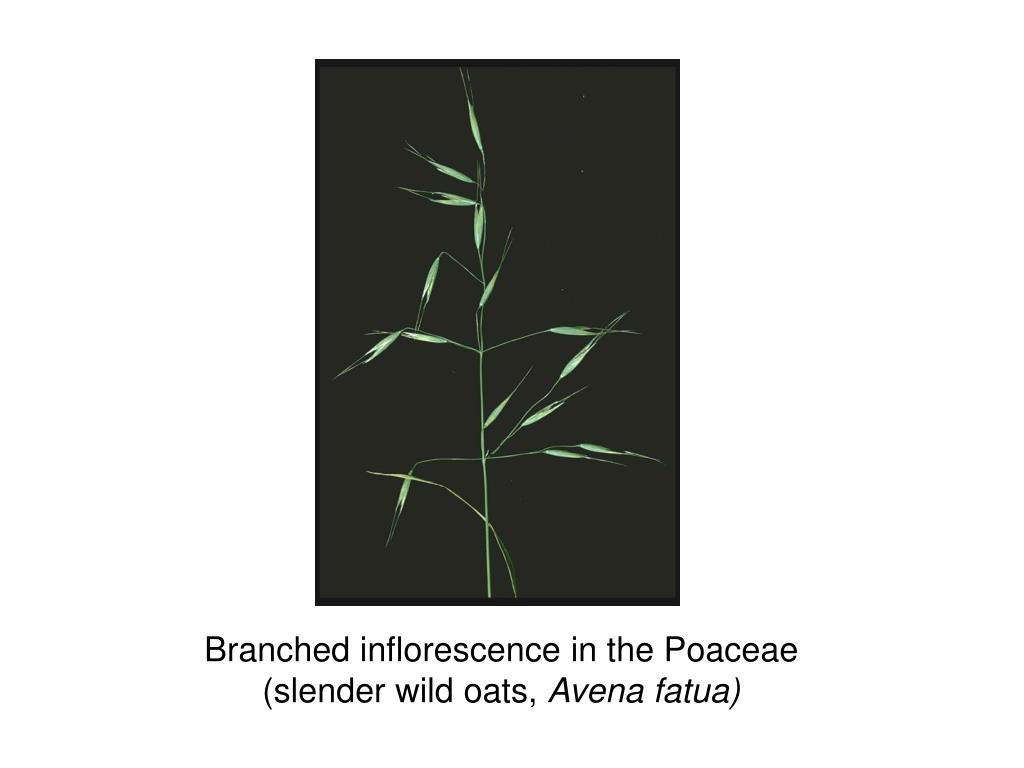 Branched inflorescence in the Poaceae
