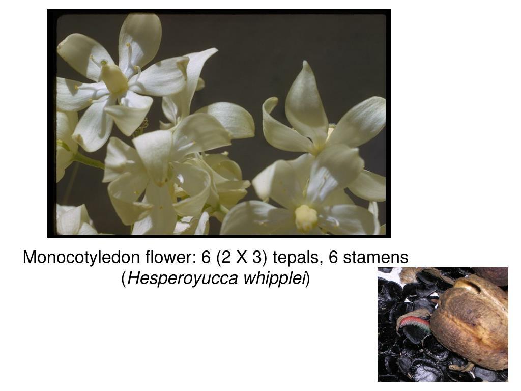 Monocotyledon flower: 6 (2 X 3) tepals, 6 stamens