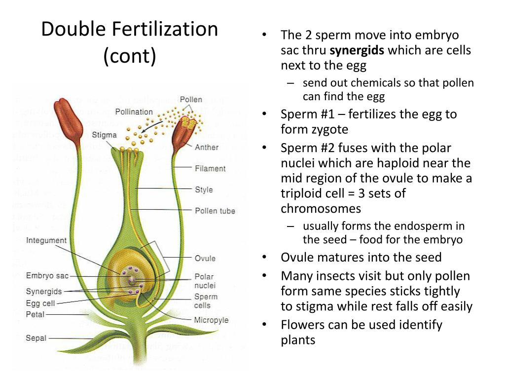Double Fertilization (cont)