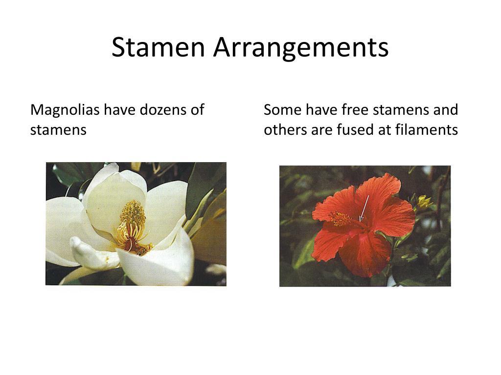 Stamen Arrangements
