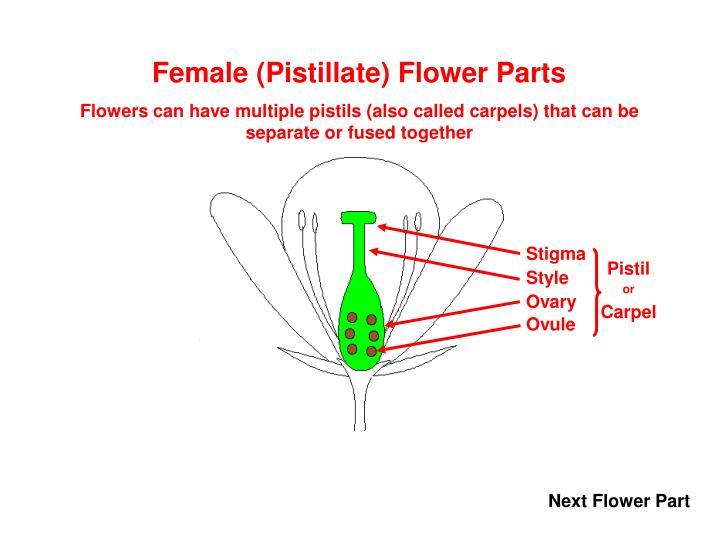 Female (Pistillate) Flower Parts