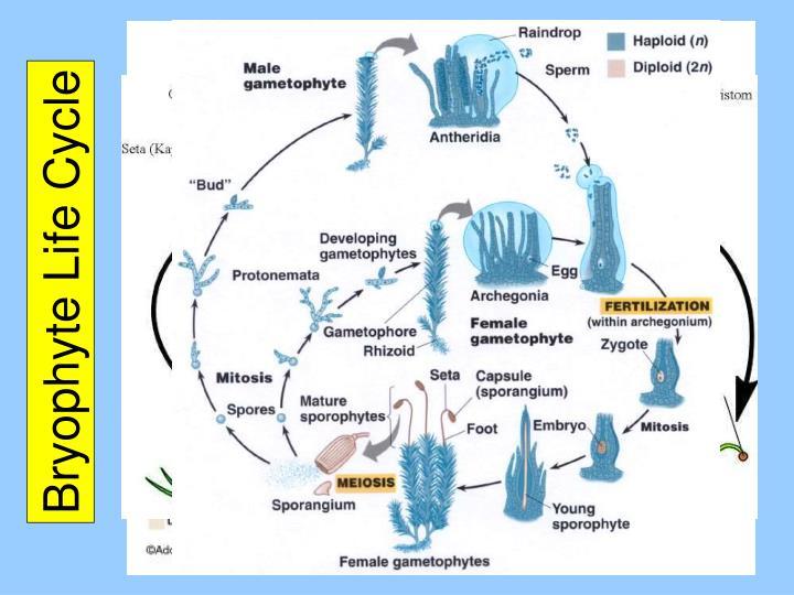 Bryophyte Life Cycle