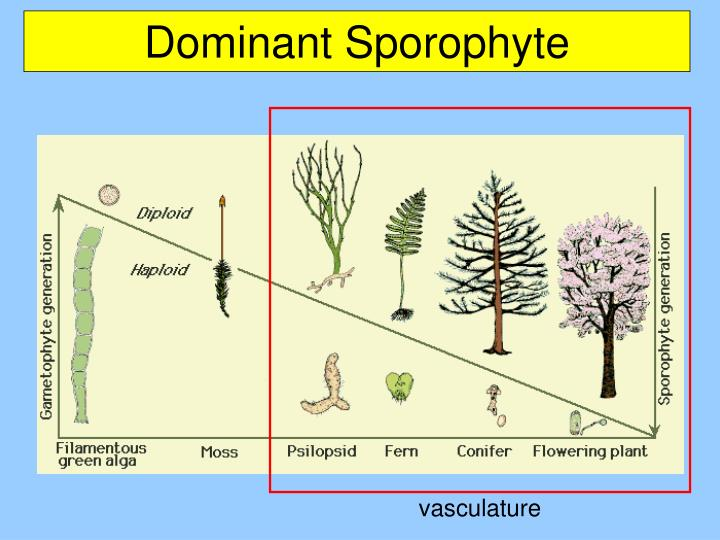 vasculature
