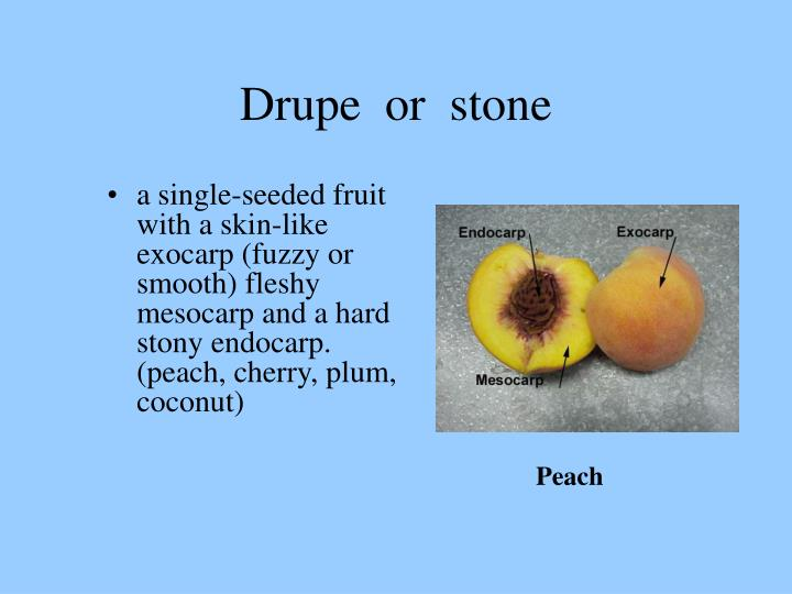 Drupe or stone