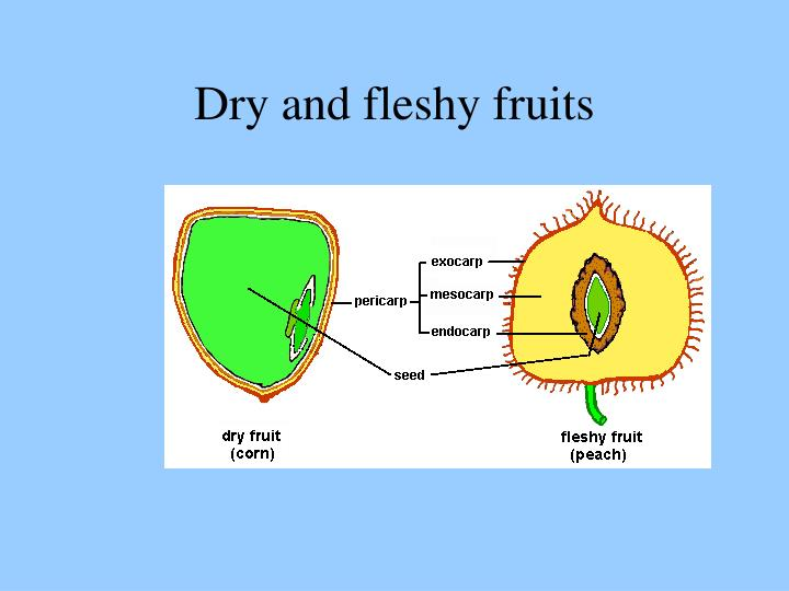 Dry and fleshy fruits