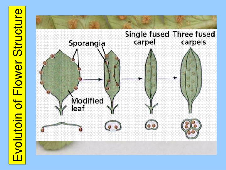 Evolutoin of Flower Structure