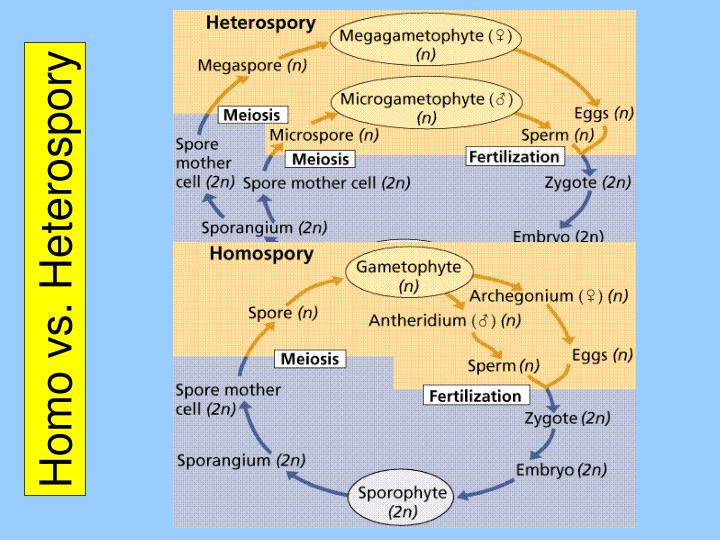 Homo vs. Heterospory