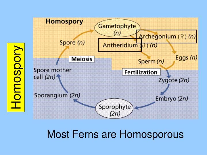 Homospory
