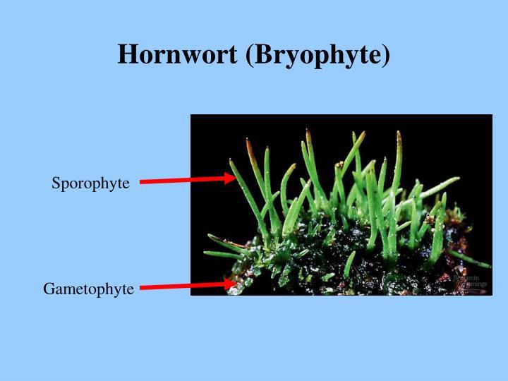 Hornwort (Bryophyte)