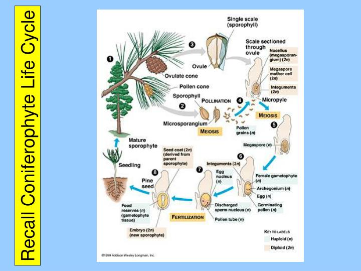 Recall Coniferophyte Life Cycle