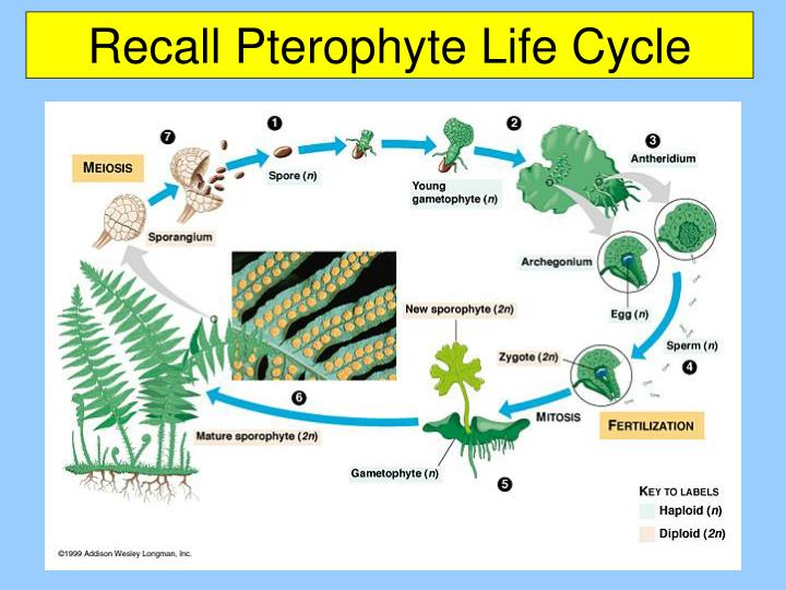Recall Pterophyte Life Cycle