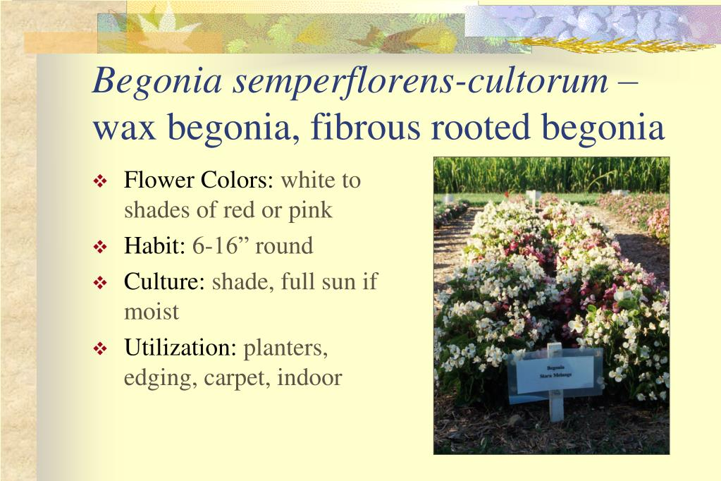 Begonia semperflorens-cultorum