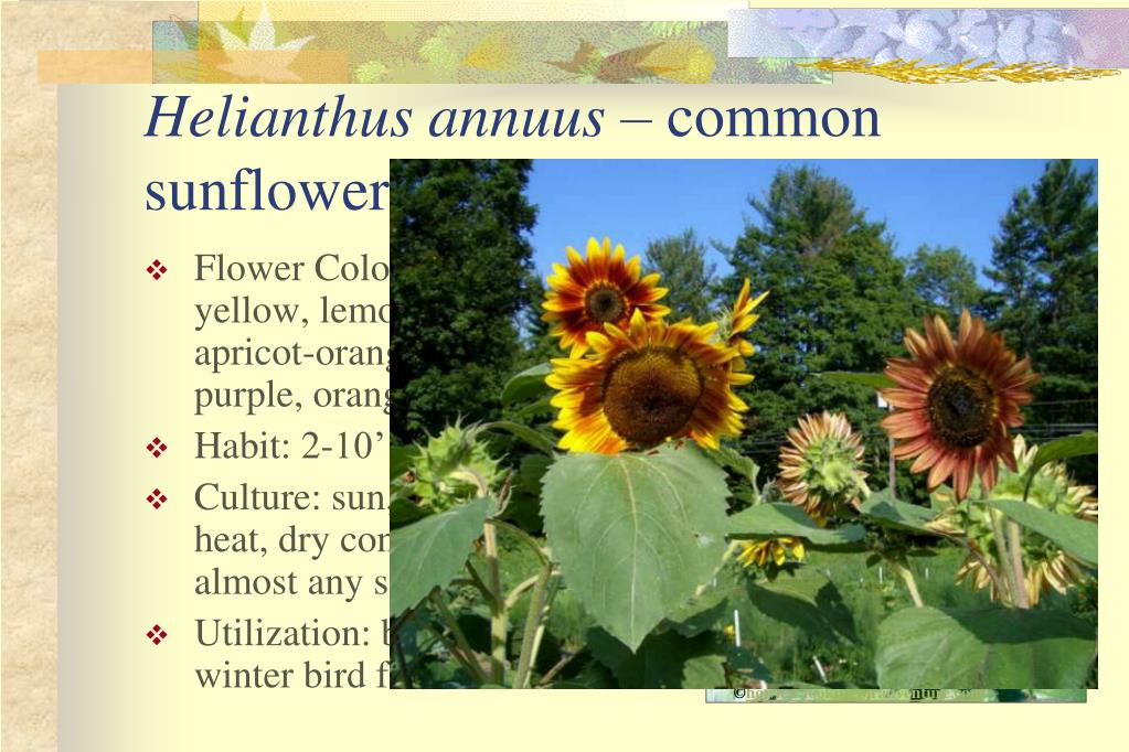 Flower Colors: white, yellow, lemon-yellow, apricot-orange, red, purple, orange-yellow