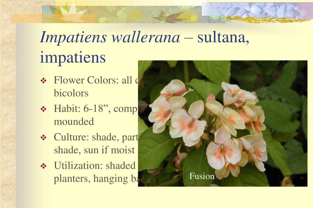Flower Colors: all colors, bicolors