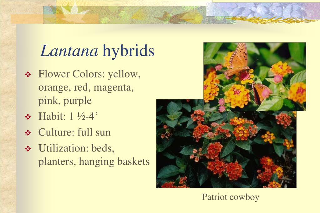 Flower Colors: yellow, orange, red, magenta, pink, purple