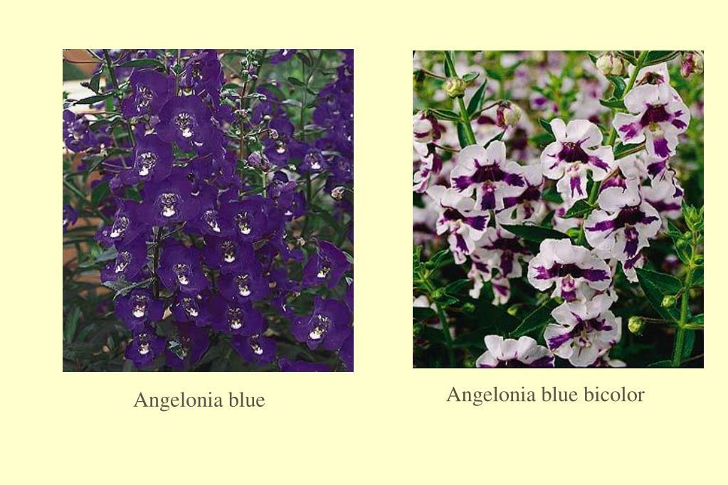 Angelonia blue bicolor