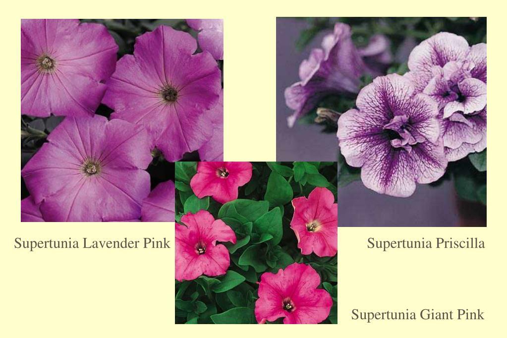 Supertunia Lavender Pink
