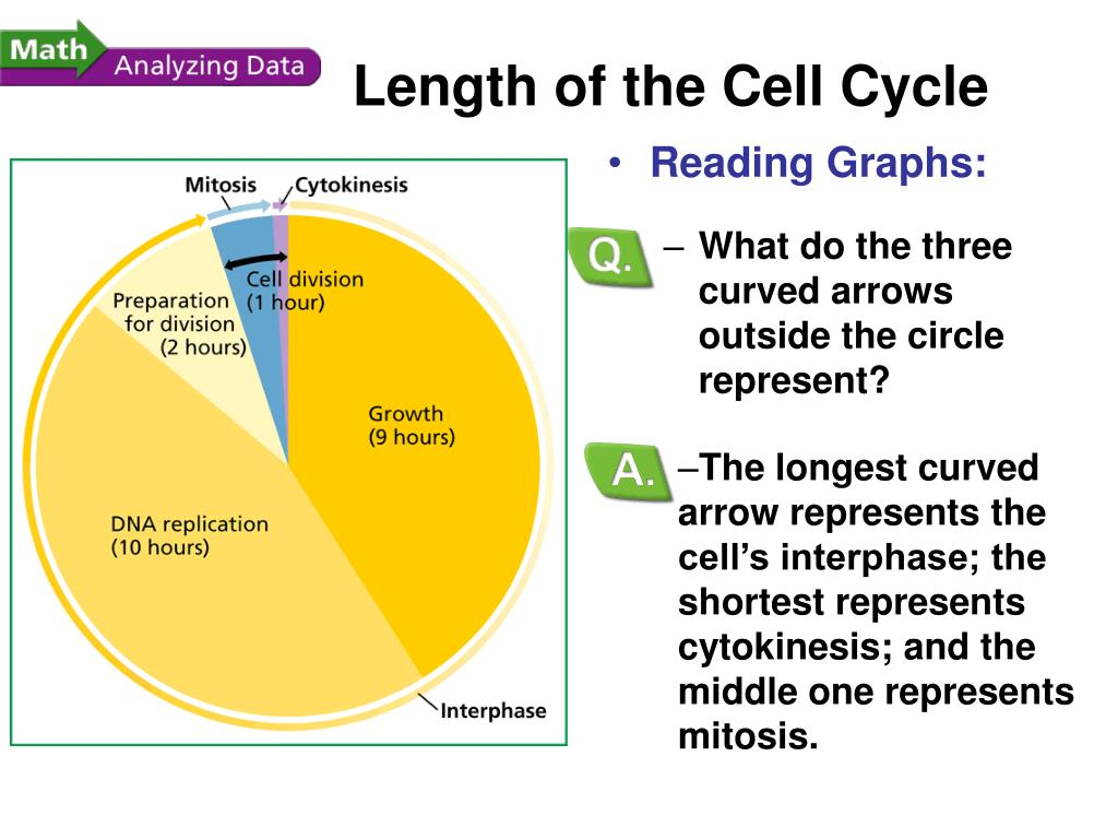 The longest curved arrow represents the cell's interphase; the shortest represents cytokinesis; and the middle one represents mitosis.