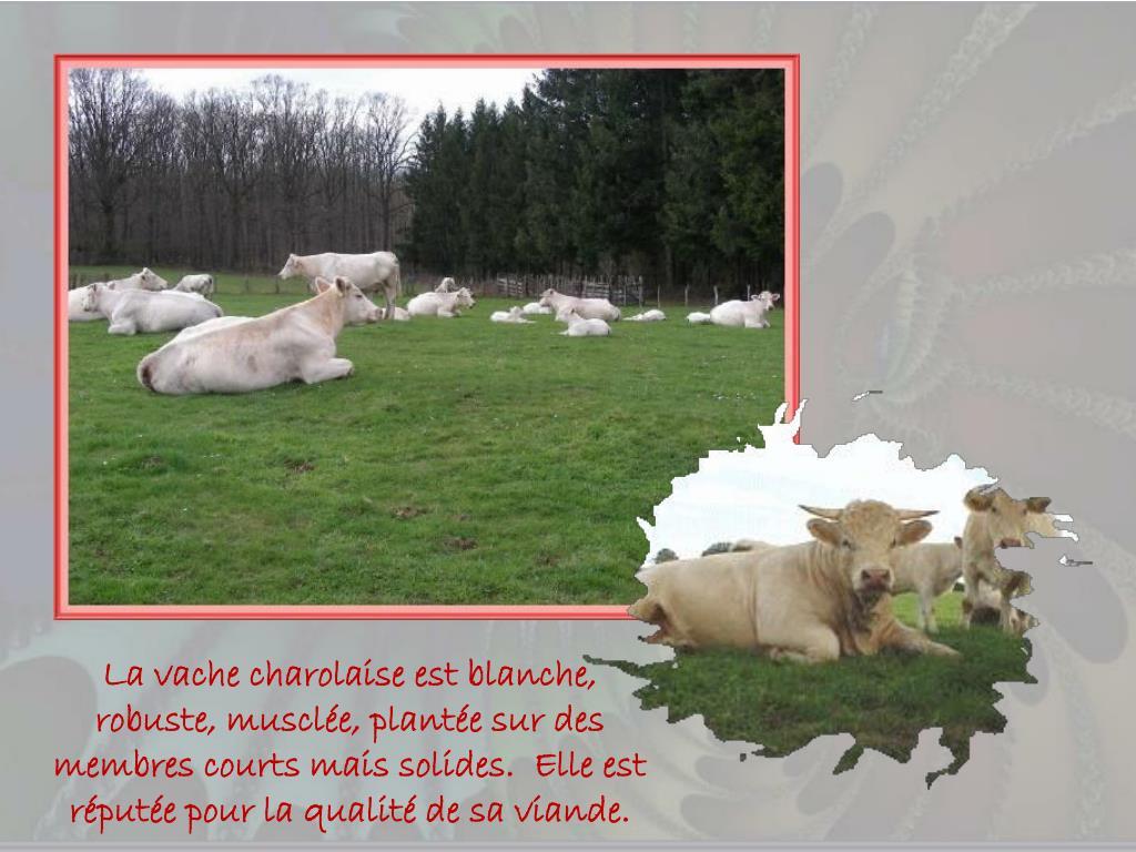 La vache charolaise est blanche, robuste, musclée, plantée sur des membres courts mais solides.  Elle est réputée pour la qualité de sa viande.
