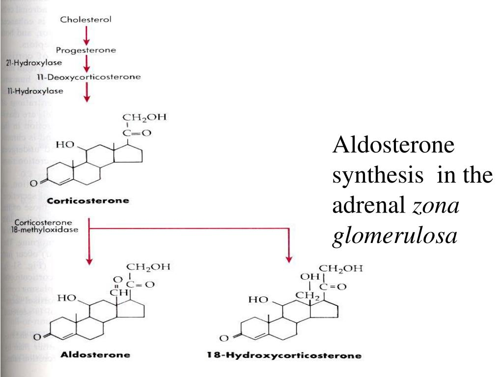 Aldosterone synthesis  in the adrenal