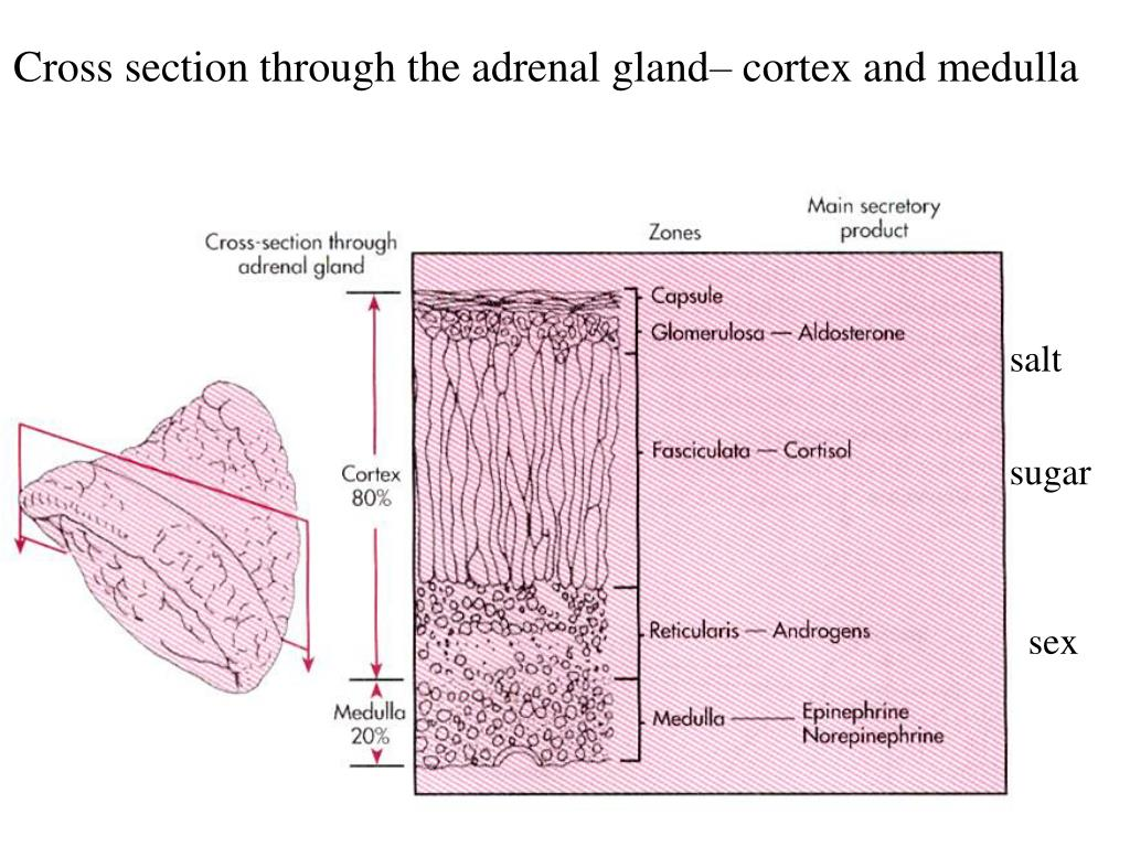 Cross section through the adrenal gland– cortex and medulla