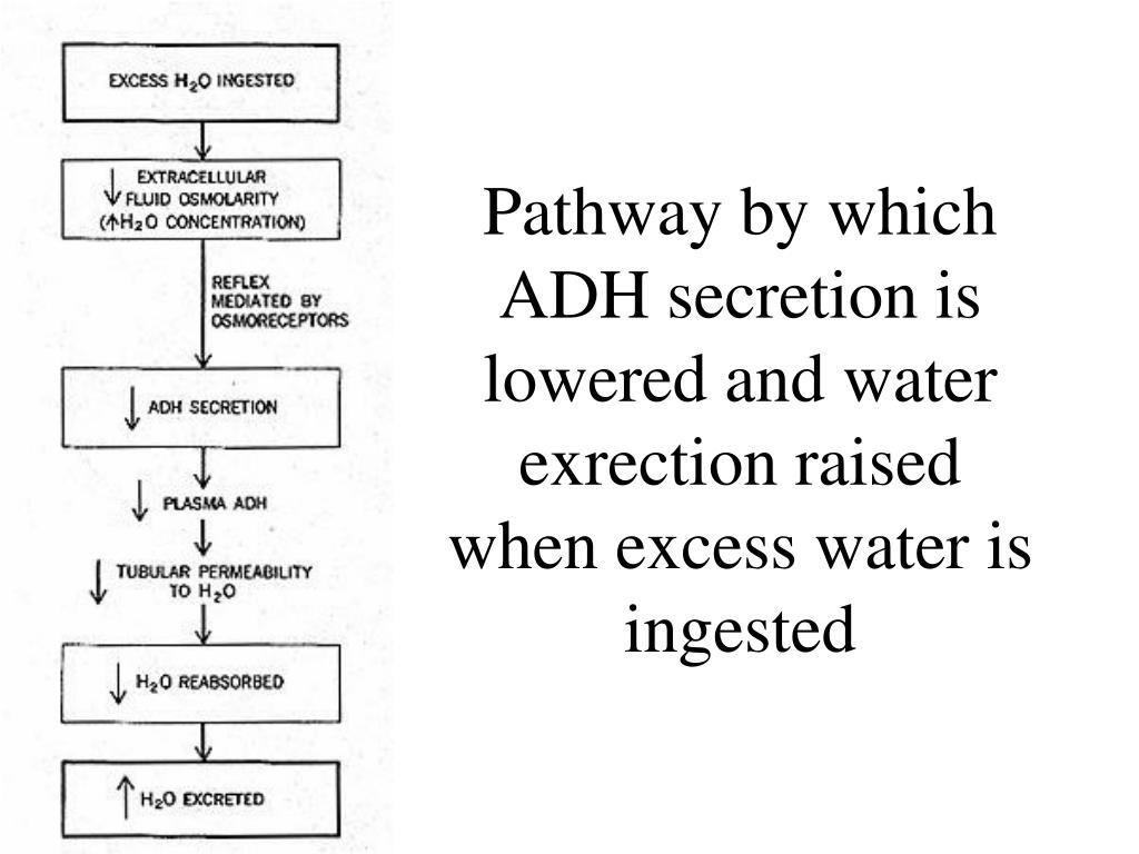 Pathway by which ADH secretion is lowered and water exrection raised when excess water is ingested