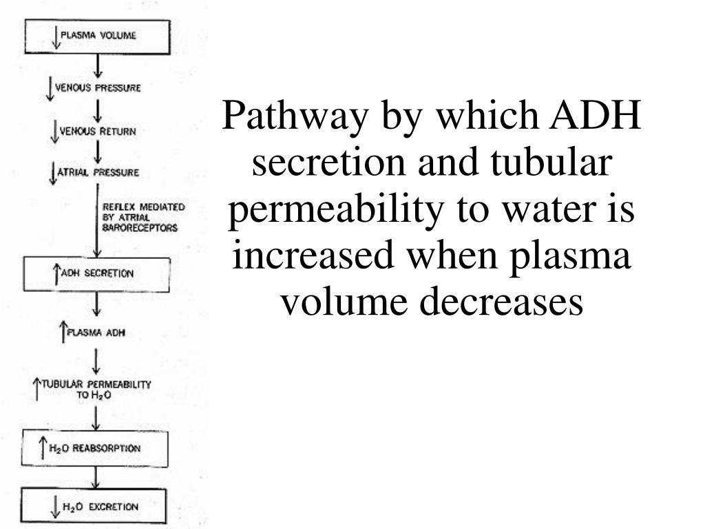 Pathway by which ADH secretion and tubular permeability to water is increased when plasma volume decreases