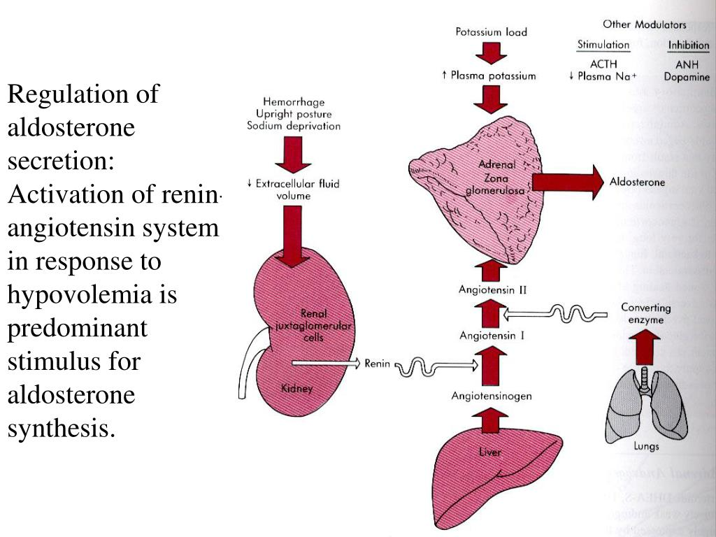 Regulation of aldosterone secretion: Activation of renin-angiotensin system in response to hypovolemia is predominant stimulus for aldosterone synthesis.