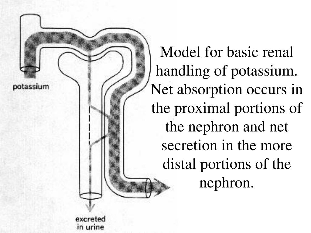 Model for basic renal handling of potassium. Net absorption occurs in the proximal portions of the nephron and net secretion in the more distal portions of the nephron.