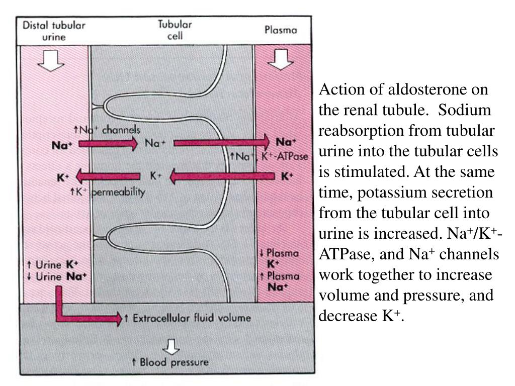 Action of aldosterone on the renal tubule.  Sodium reabsorption from tubular urine into the tubular cells is stimulated. At the same time, potassium secretion from the tubular cell into urine is increased. Na