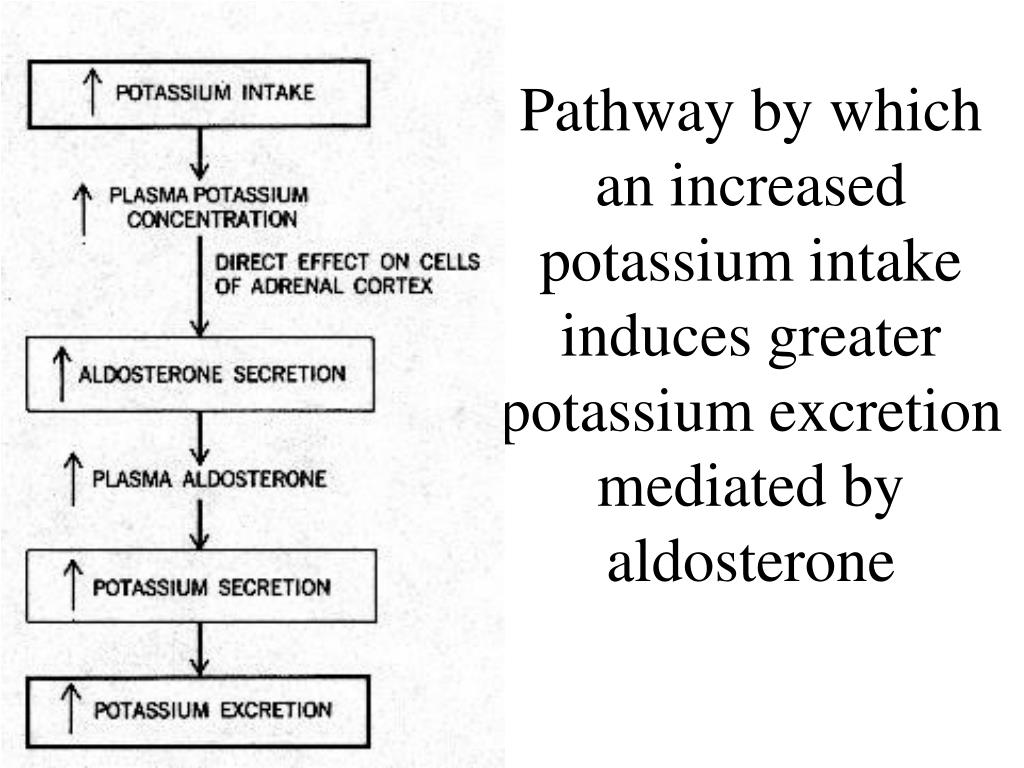 Pathway by which an increased potassium intake induces greater potassium excretion mediated by aldosterone
