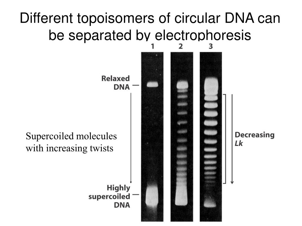 Different topoisomers of circular DNA can be separated by electrophoresis