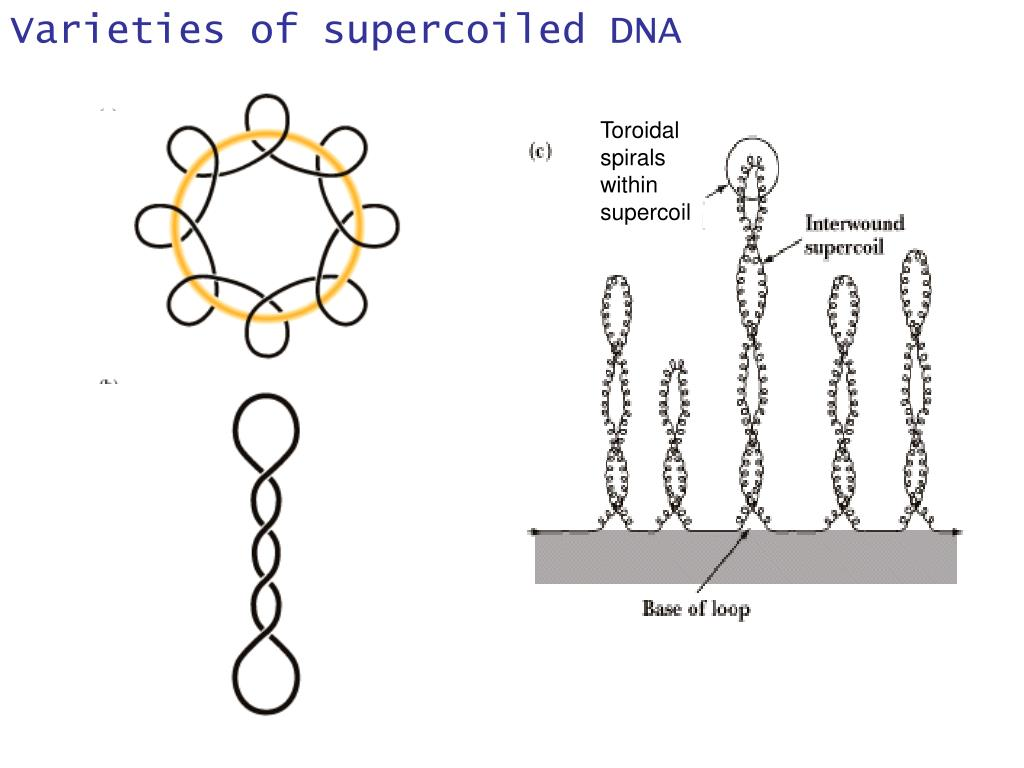 Varieties of supercoiled DNA