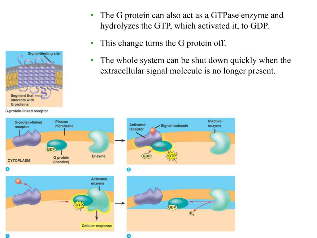 The G protein can also act as a GTPase enzyme and hydrolyzes the GTP, which activated it, to GDP.