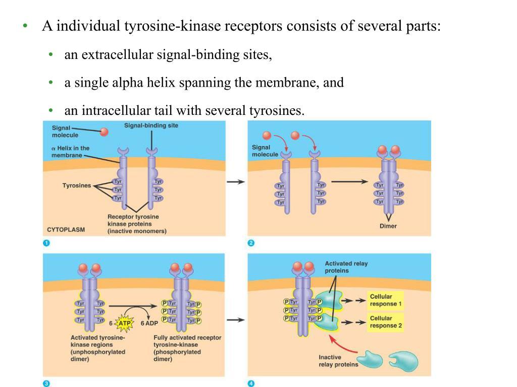 A individual tyrosine-kinase receptors consists of several parts: