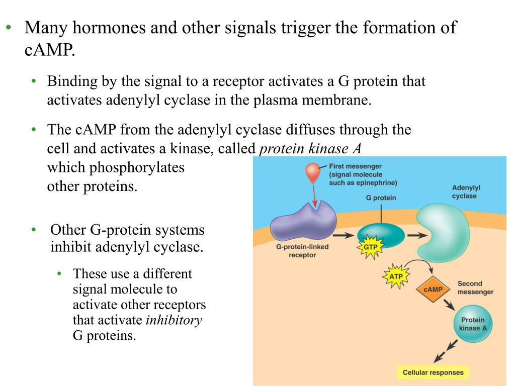 Many hormones and other signals trigger the formation of cAMP.