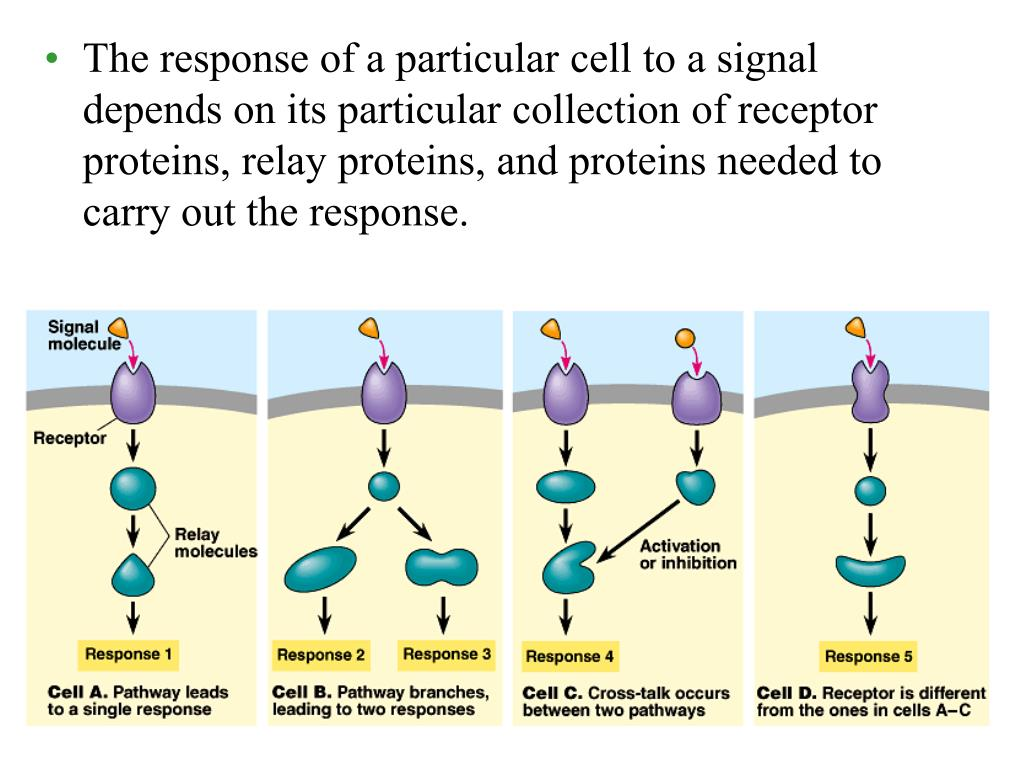 The response of a particular cell to a signal depends on its particular collection of receptor proteins, relay proteins, and proteins needed to carry out the response.