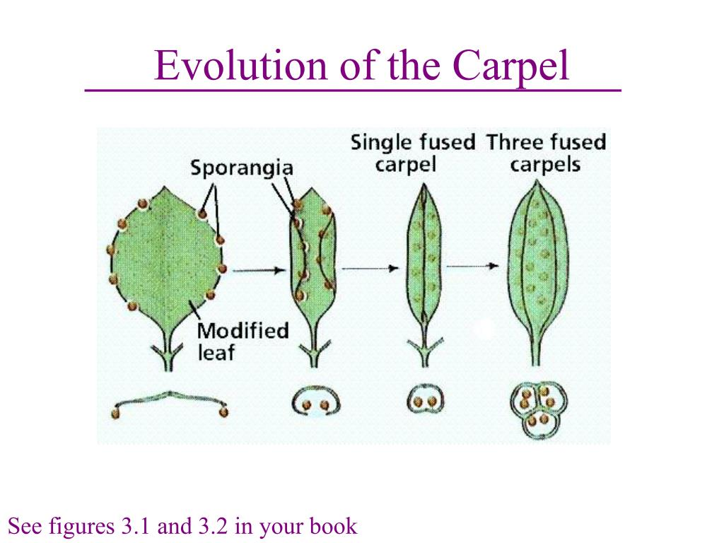 Evolution of the Carpel